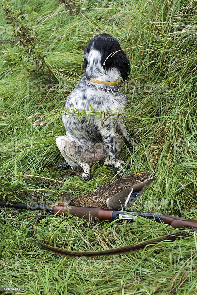 Hunting dog and game royalty-free stock photo