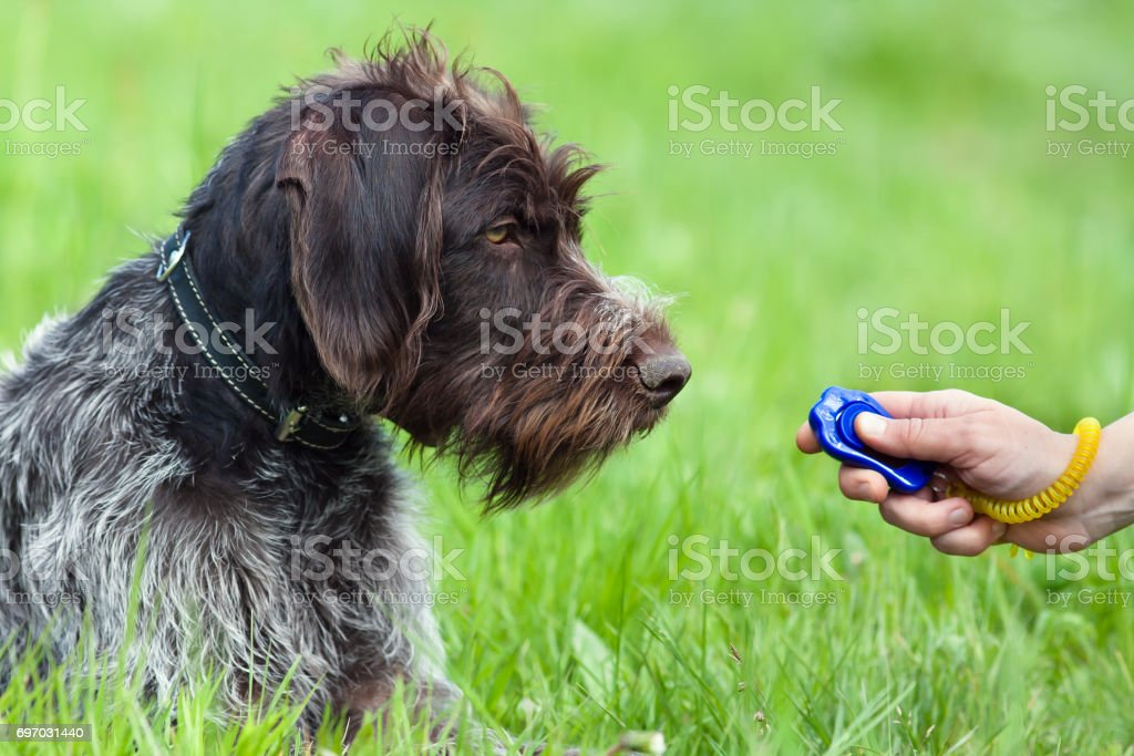hunting dog and hand with clicker stock photo
