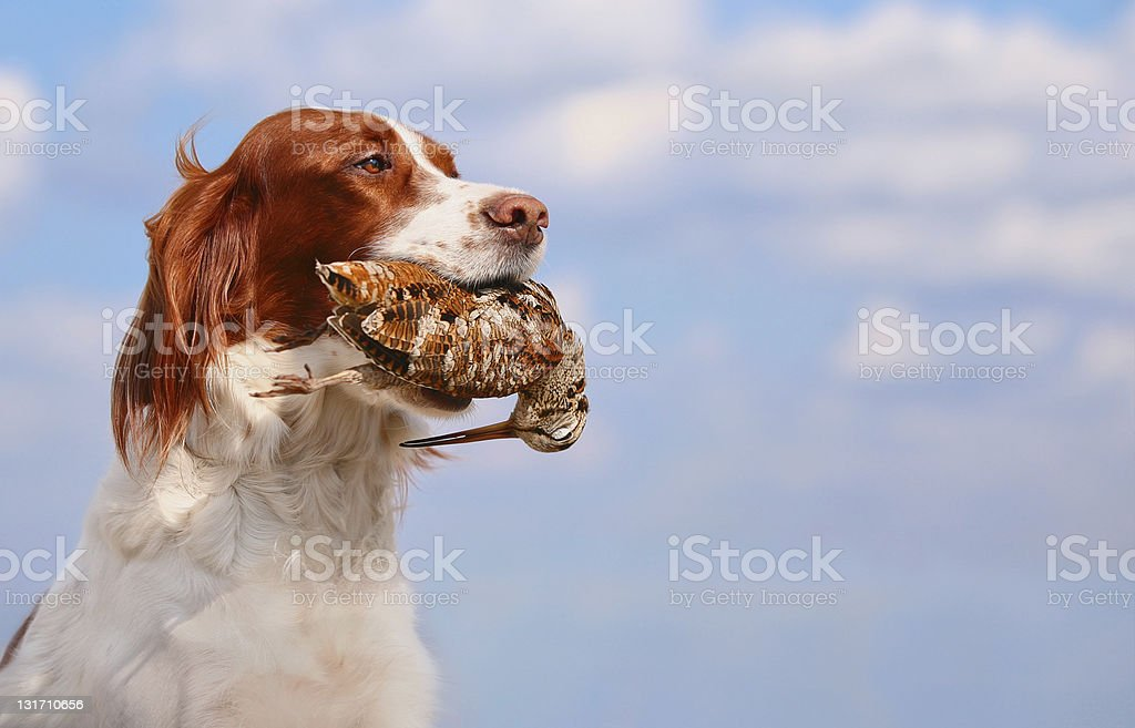 hunting dog holding in teeth a woodcock, outdoors stock photo