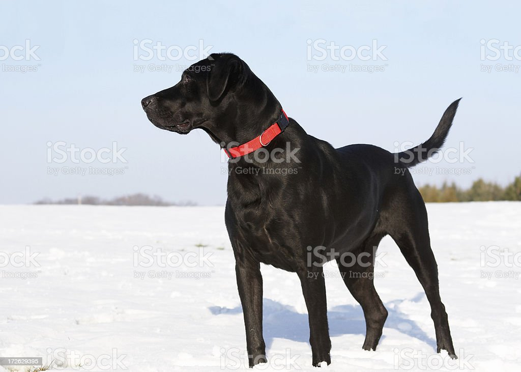 Hunting Dog in the Snow stock photo