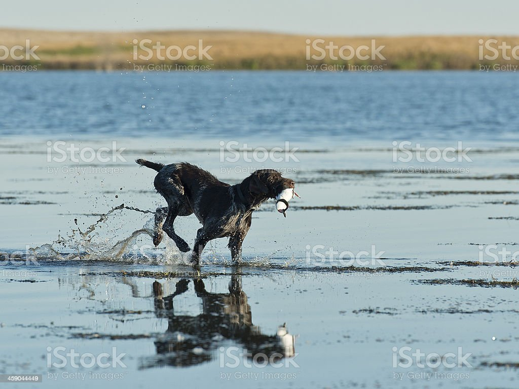 Hunting Dog in the water stock photo