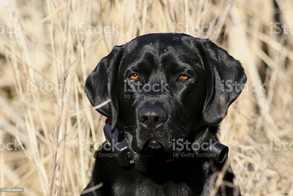 Hunting Dog is All Business royalty-free stock photo