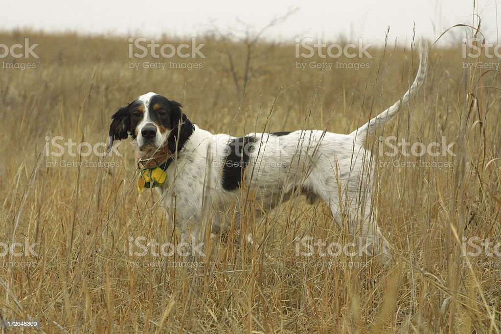 Hunting Dog on Point stock photo
