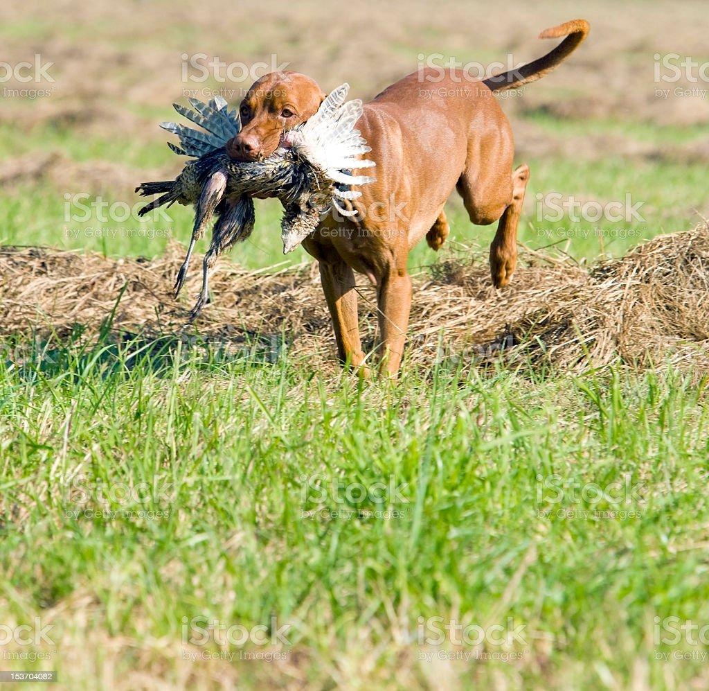hunting dog royalty-free stock photo