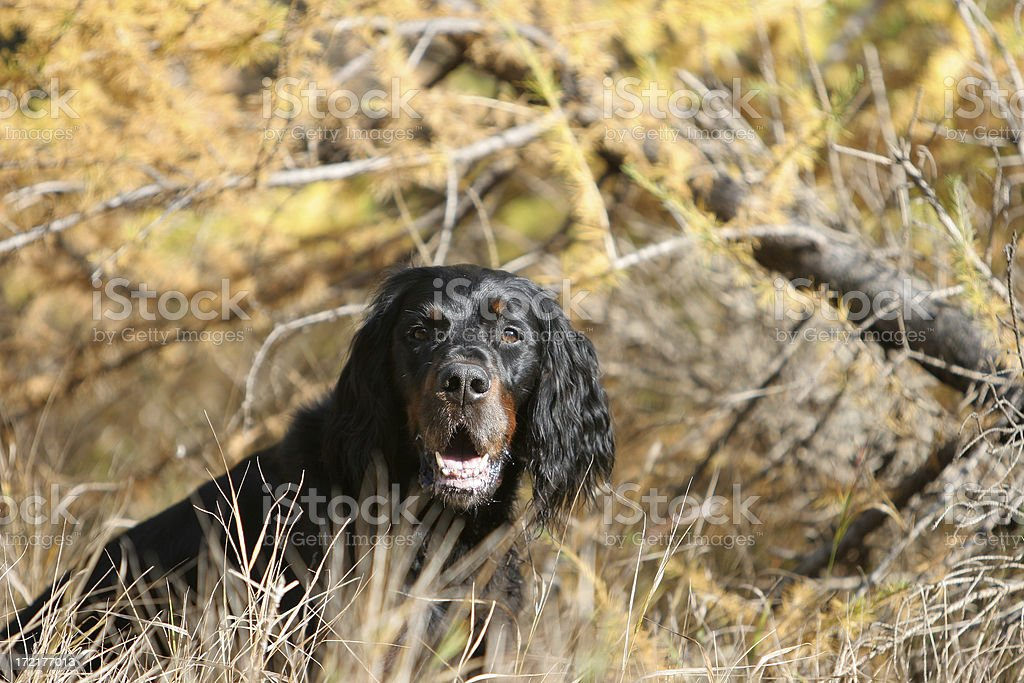Hunting dog royalty-free stock photo
