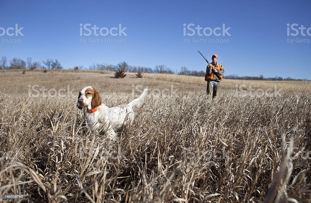 Hunting Dog stock photo