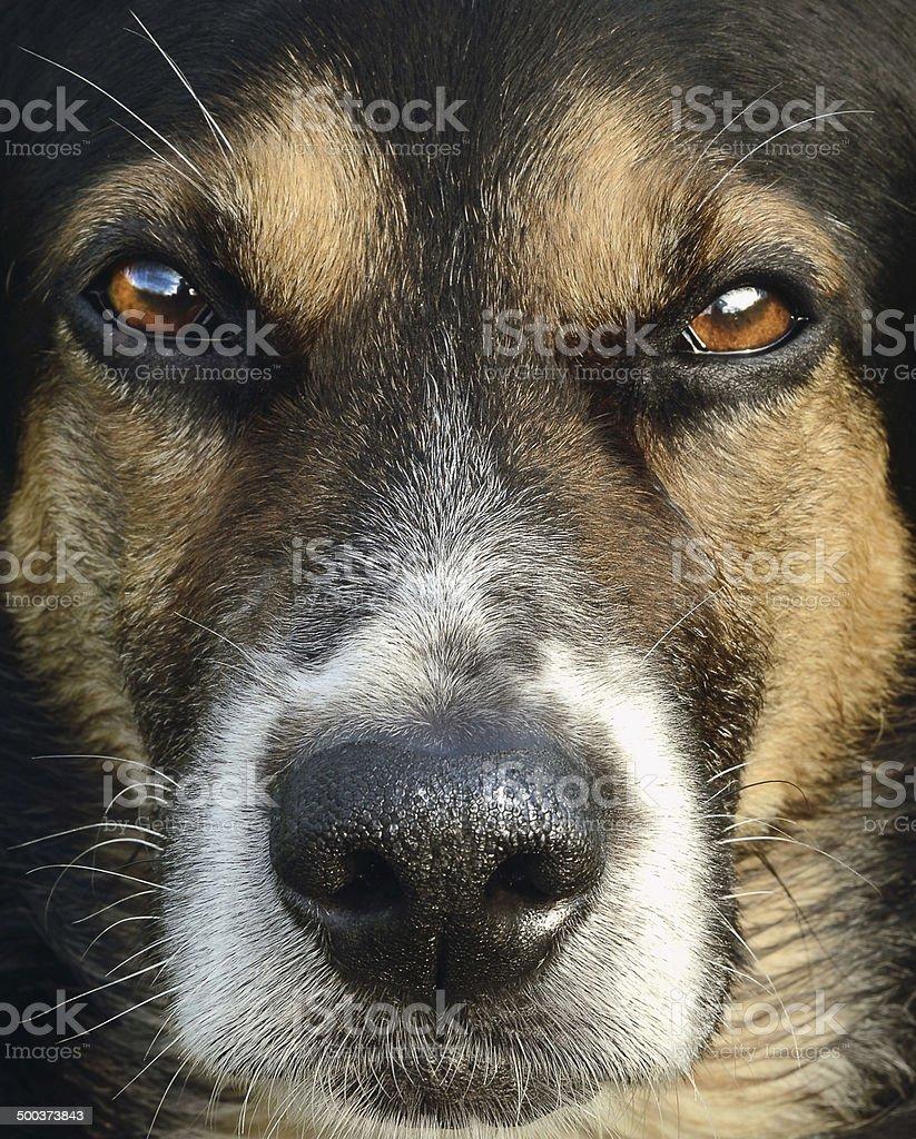 Cão caçador foto de stock royalty-free