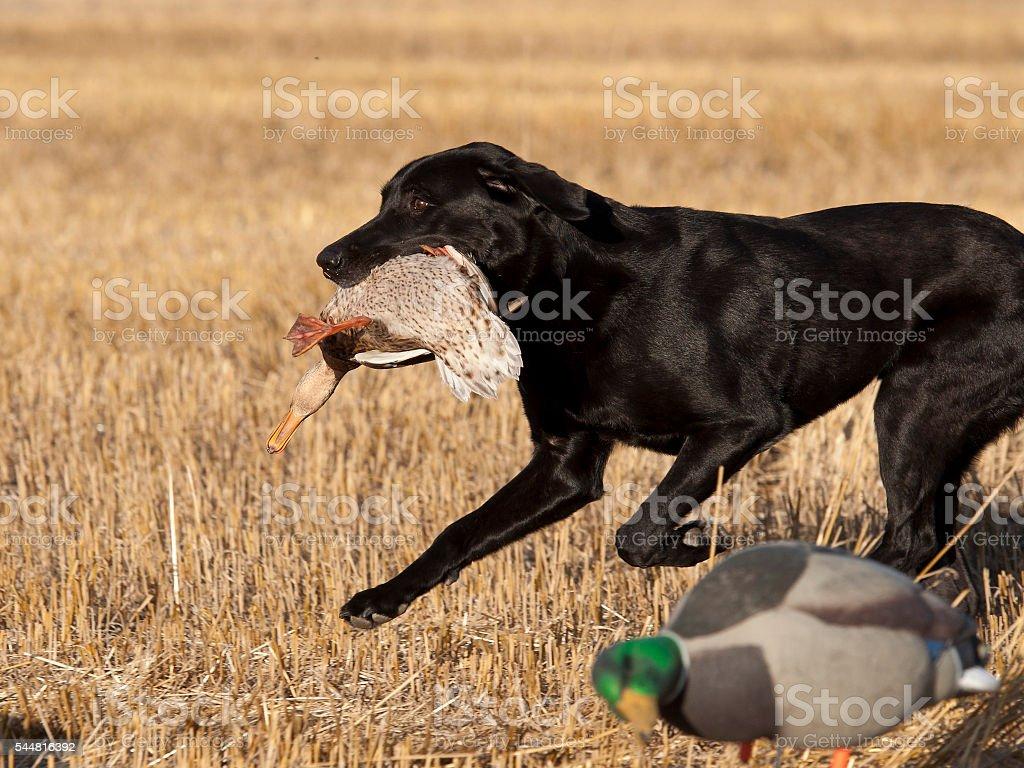 Hunting Dog stock photo