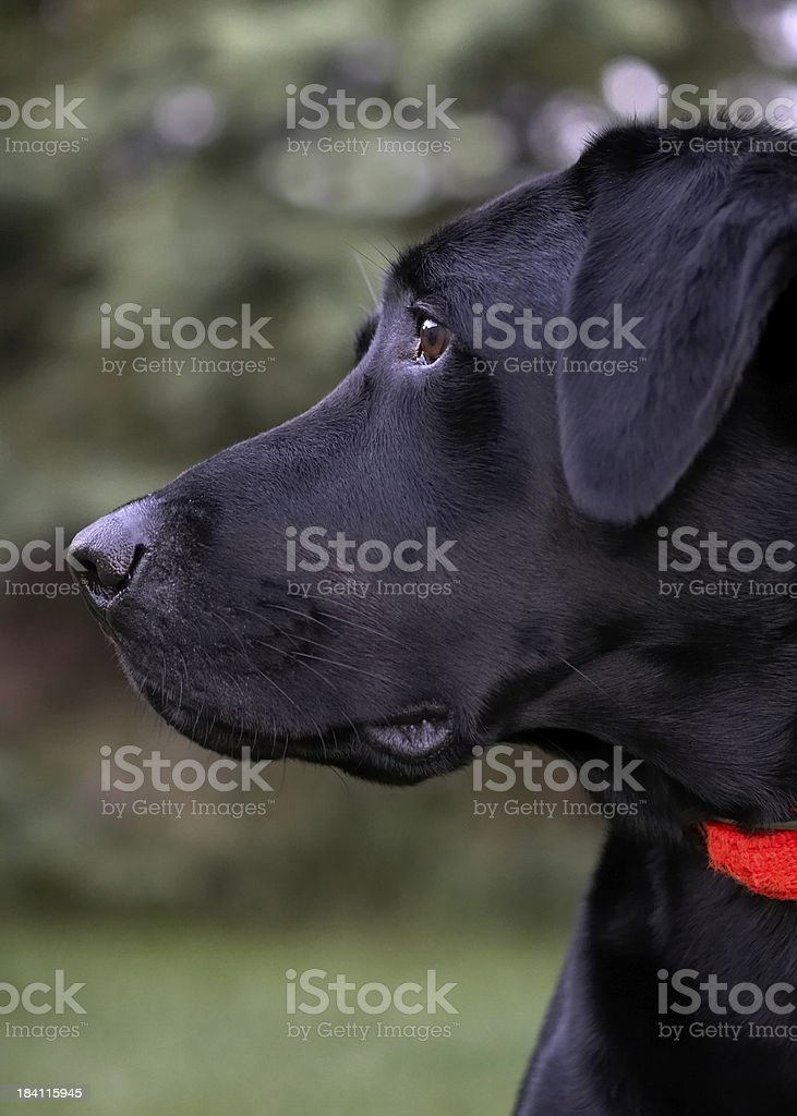 Hunting Dog Profile stock photo