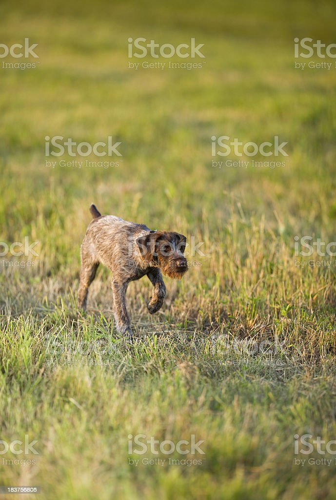 Hunting Dog Puppy on Point in a Summer Evening Field royalty-free stock photo