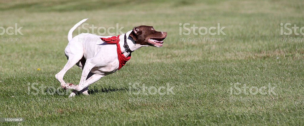 Hunting dog running in field stock photo
