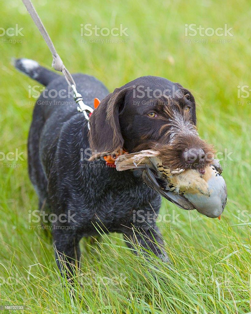 Hunting Dog with a Chukar stock photo