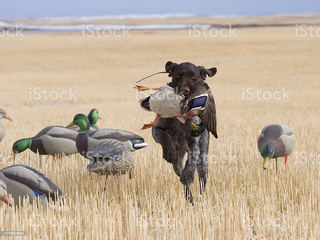 Hunting Dog with a duck stock photo