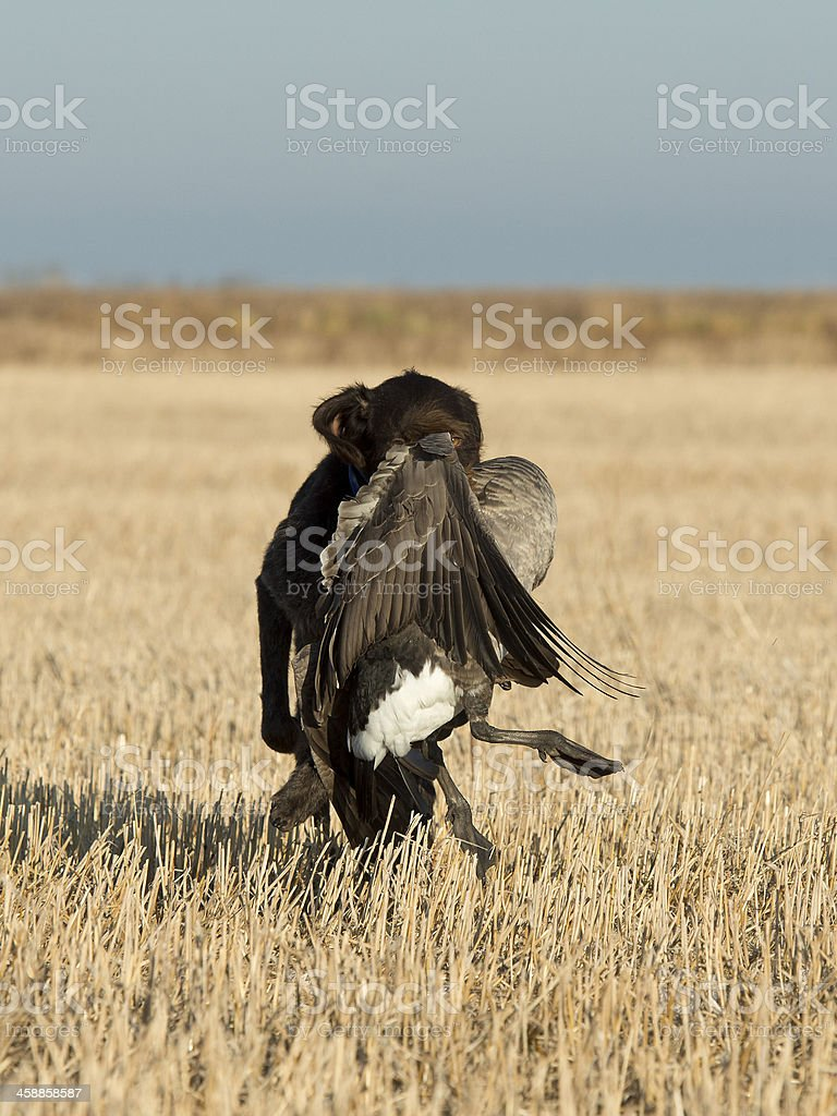 Hunting Dog with a Goose stock photo