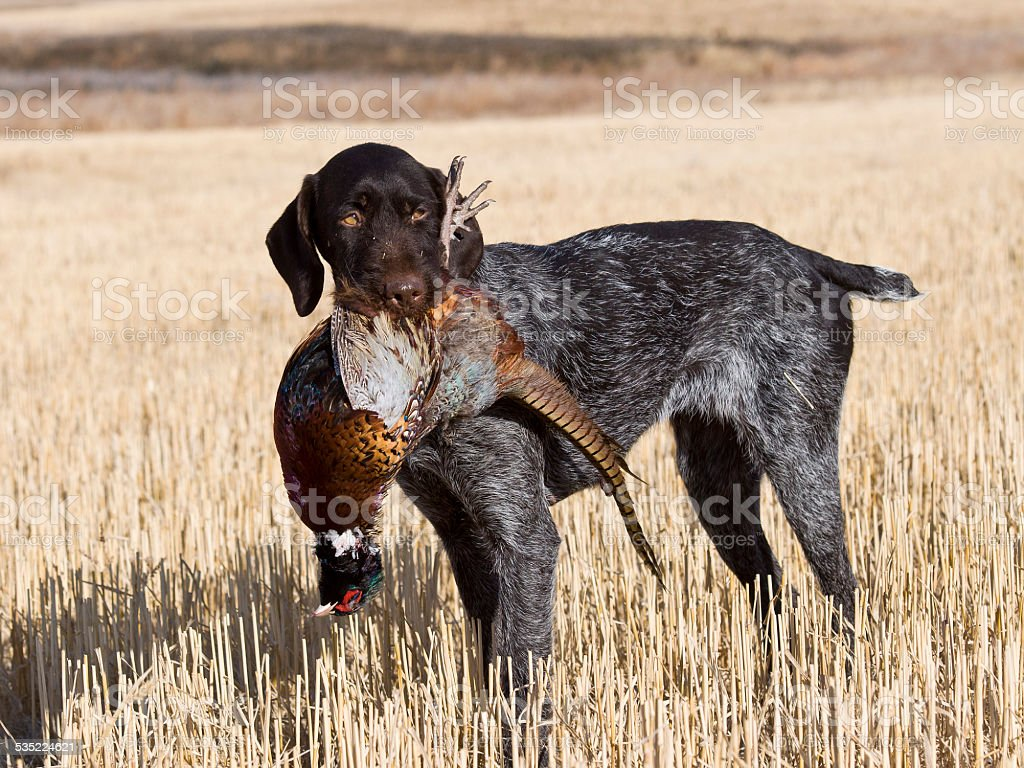 Hunting Dog with a Pheasant stock photo