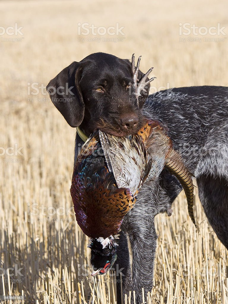 Hunting Dog with Pheasant stock photo