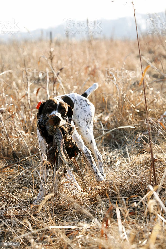 Hunting dog with pheasant royalty-free stock photo