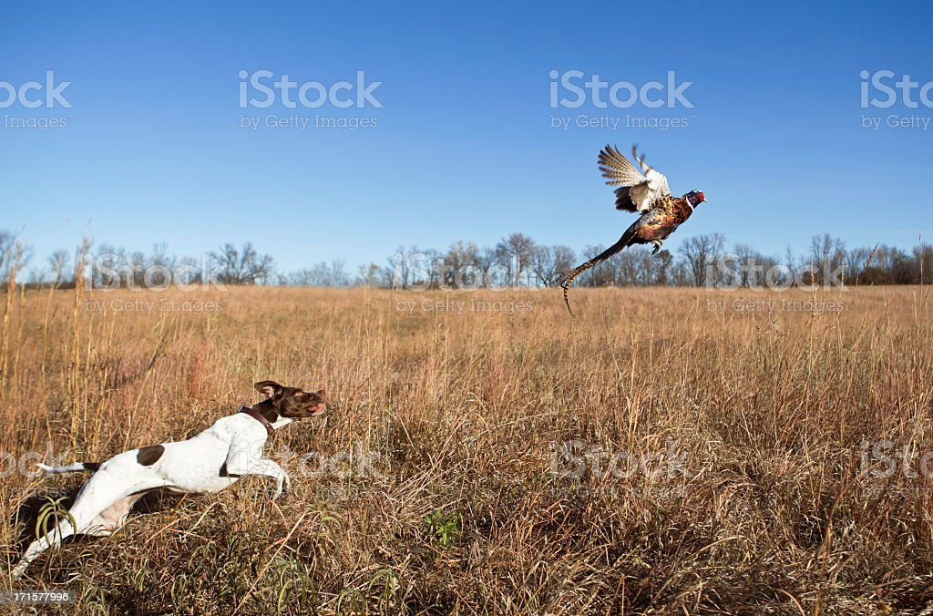 Hunting Dog With Rooster Pheasant Flushing Out of Grass Field. stock photo