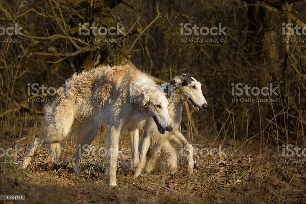 Hunting dogs chase prey stock photo