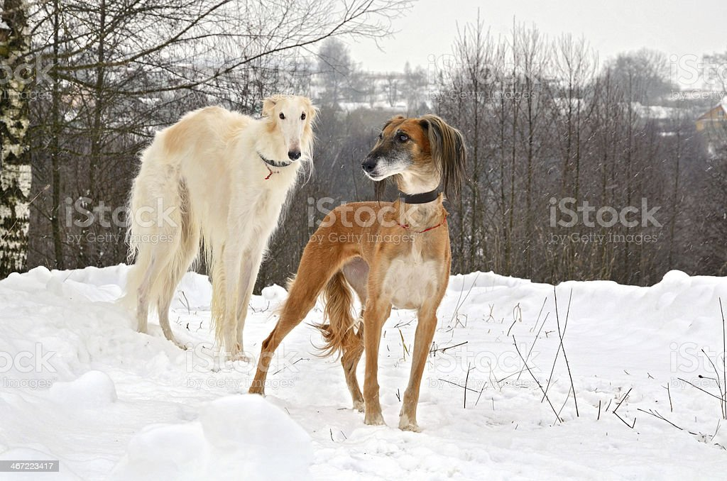 Hunting dogs on snow stock photo