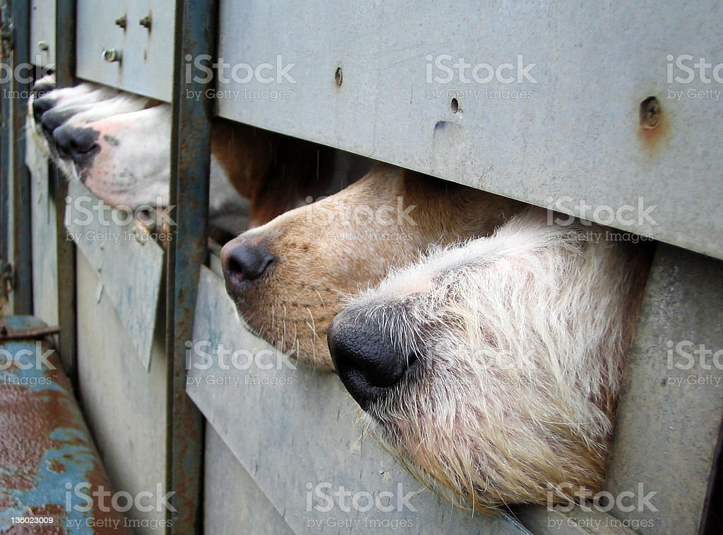 Hunting dogs sniff the air royalty-free stock photo