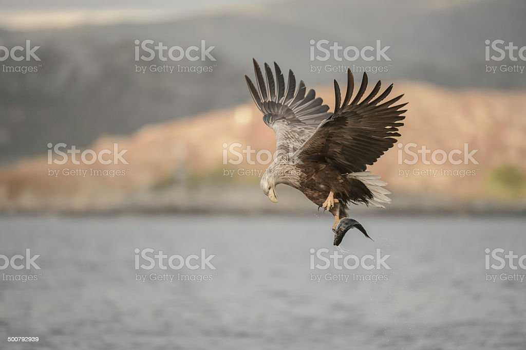 Hunting Eagle stock photo