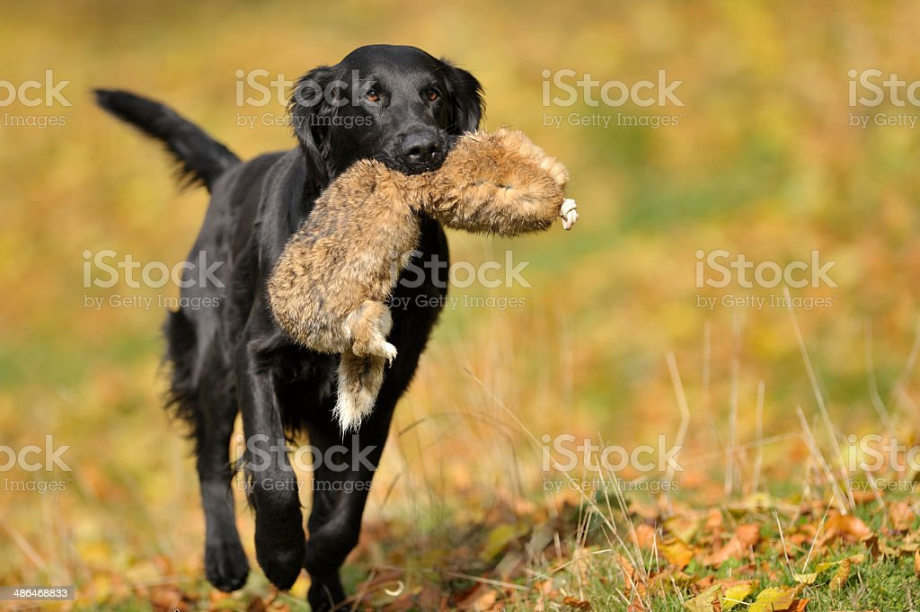 Hunting exercise royalty-free stock photo