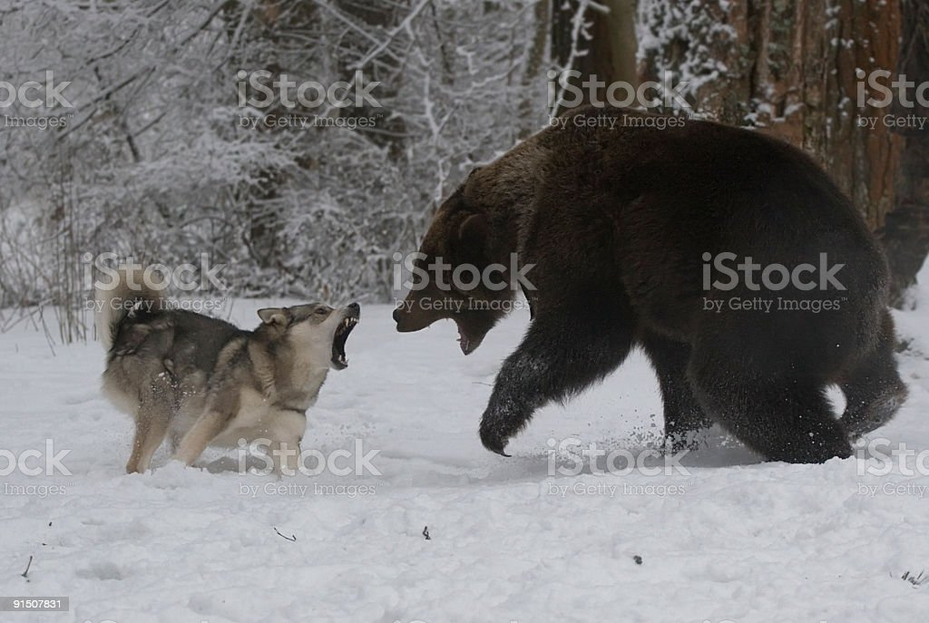 Hunting for a bear. stock photo