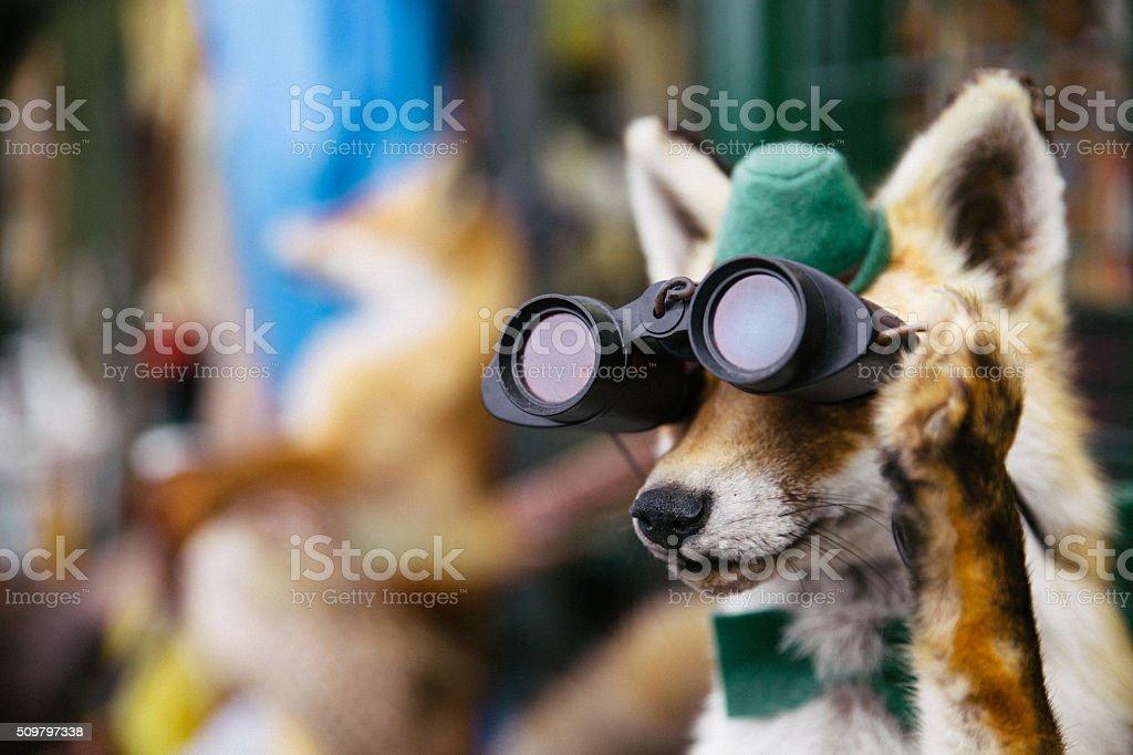 Hunting fox stock photo