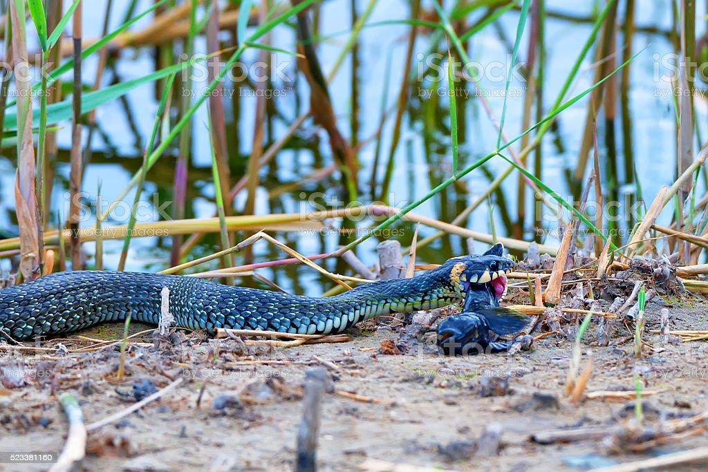 Hunting grass snake has caught fish stock photo