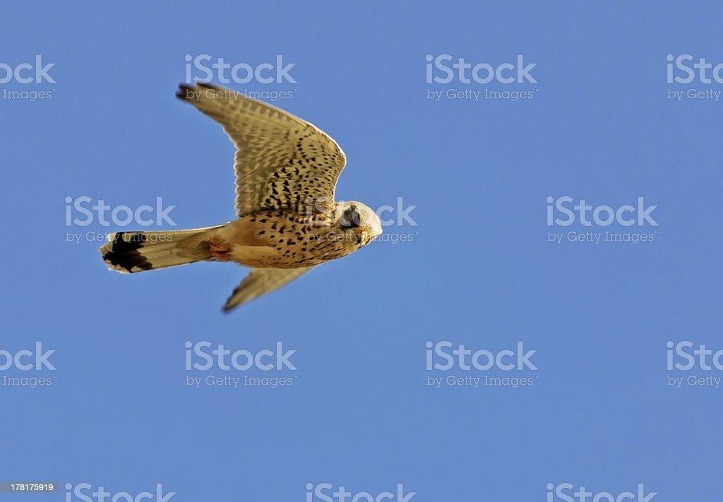 hunting hawk stock photo