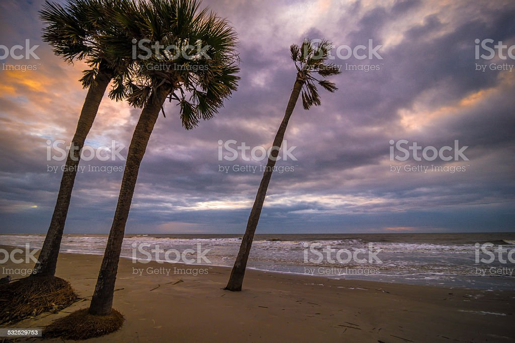 Hunting Island Palmetto Tree stock photo