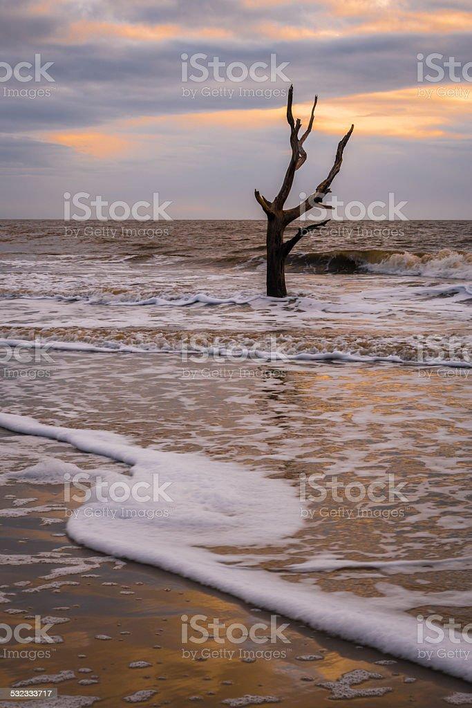 Hunting Island Skeleton Tree 2 stock photo