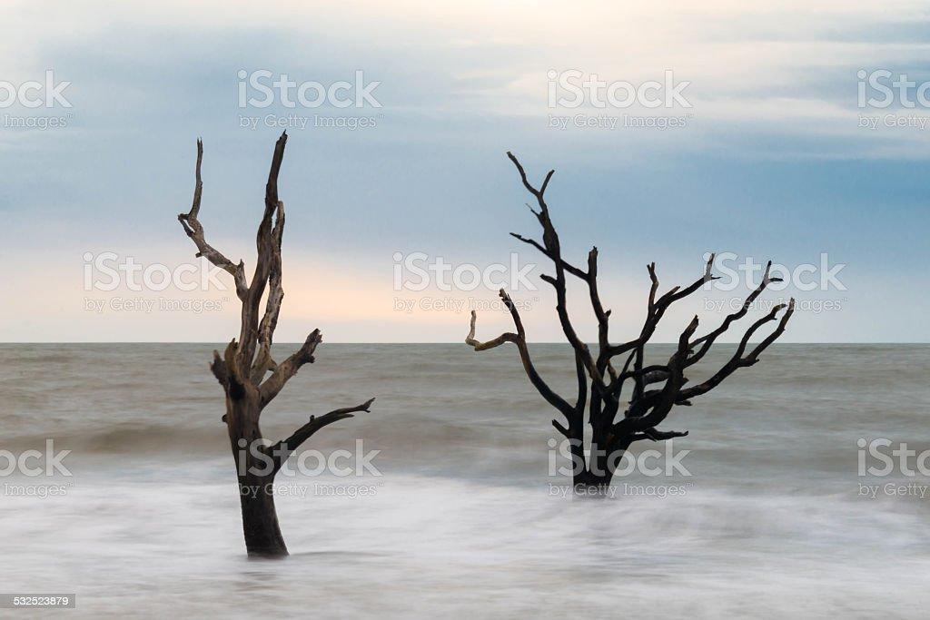 Hunting Island Skeleton Tree 3 stock photo