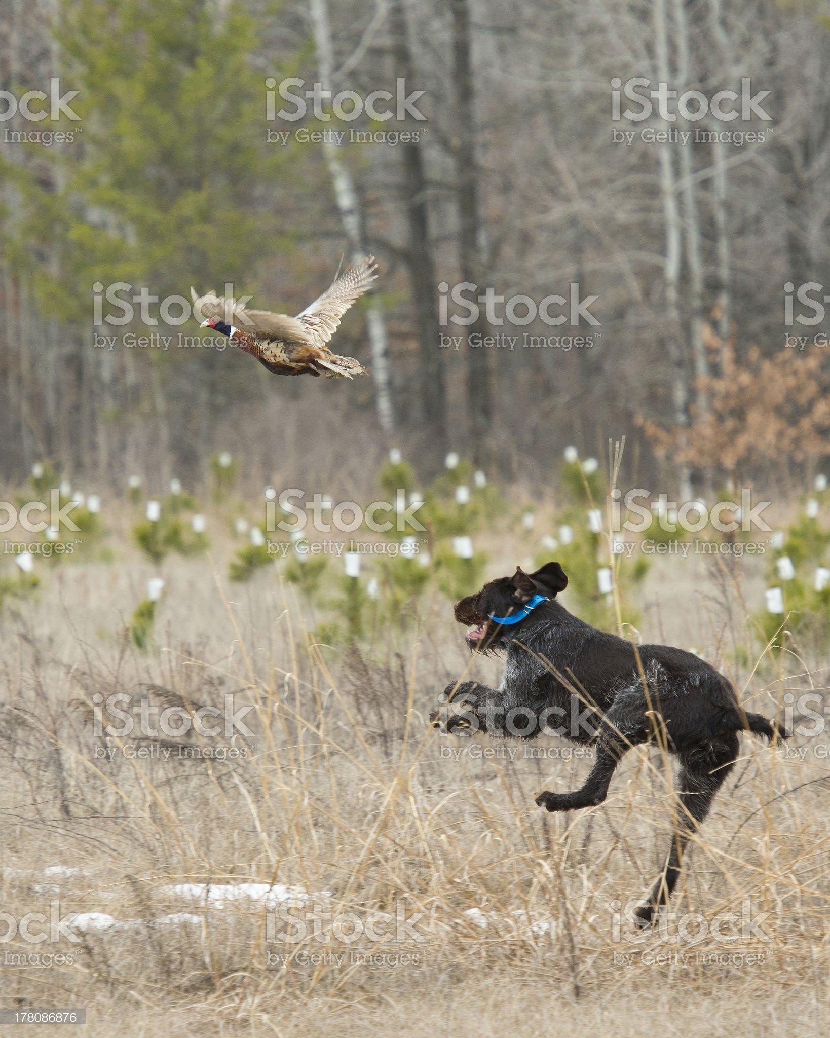 Hunting Pheasants royalty-free stock photo