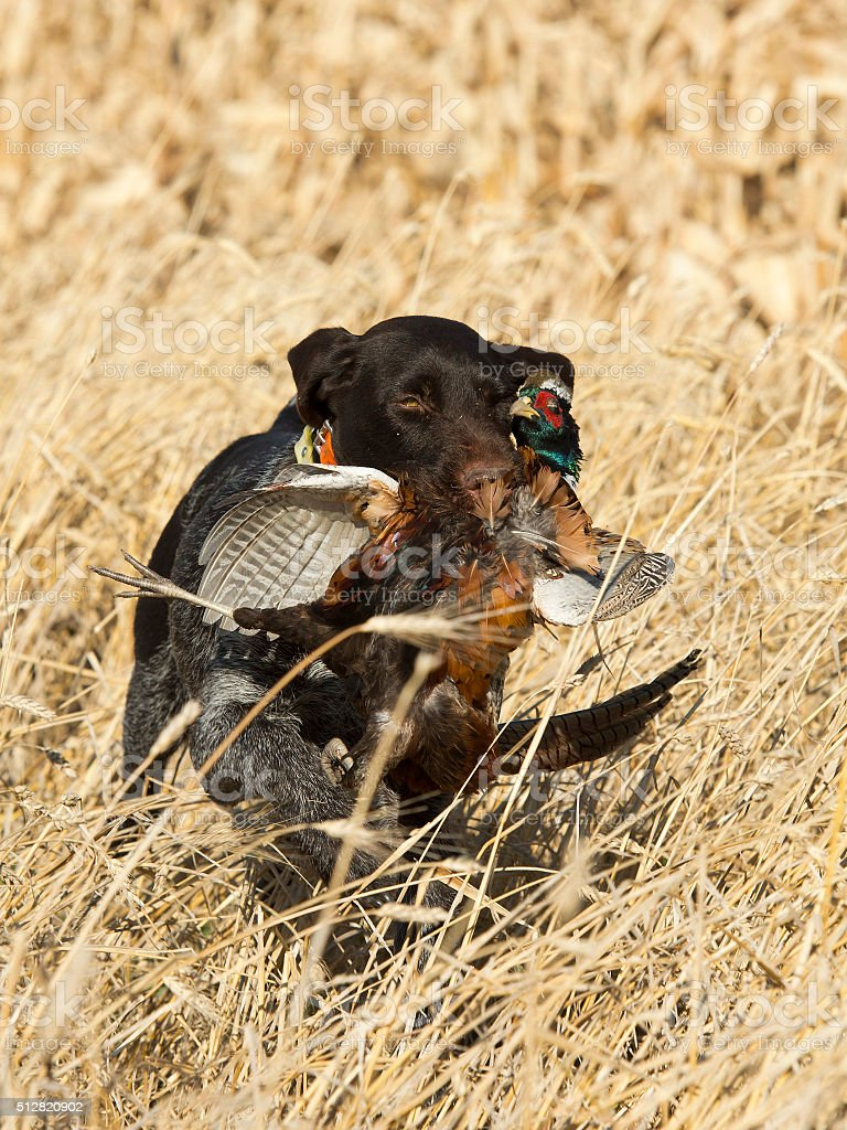Hunting Pheasants stock photo