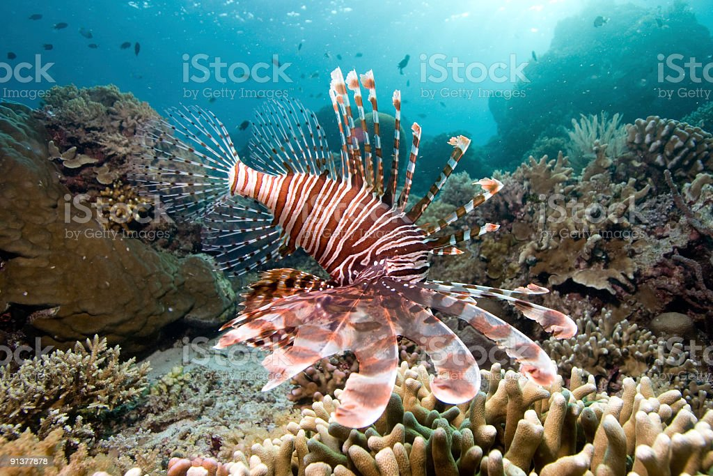 Hunting Red Lionfish at a Reef of Bunaken Island, Indonesia stock photo