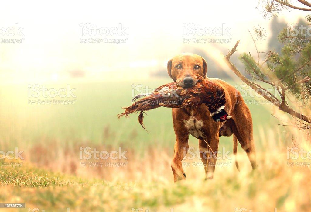 hunting rhodesian ridgeback pointer dog puppy hold pheasant stock photo