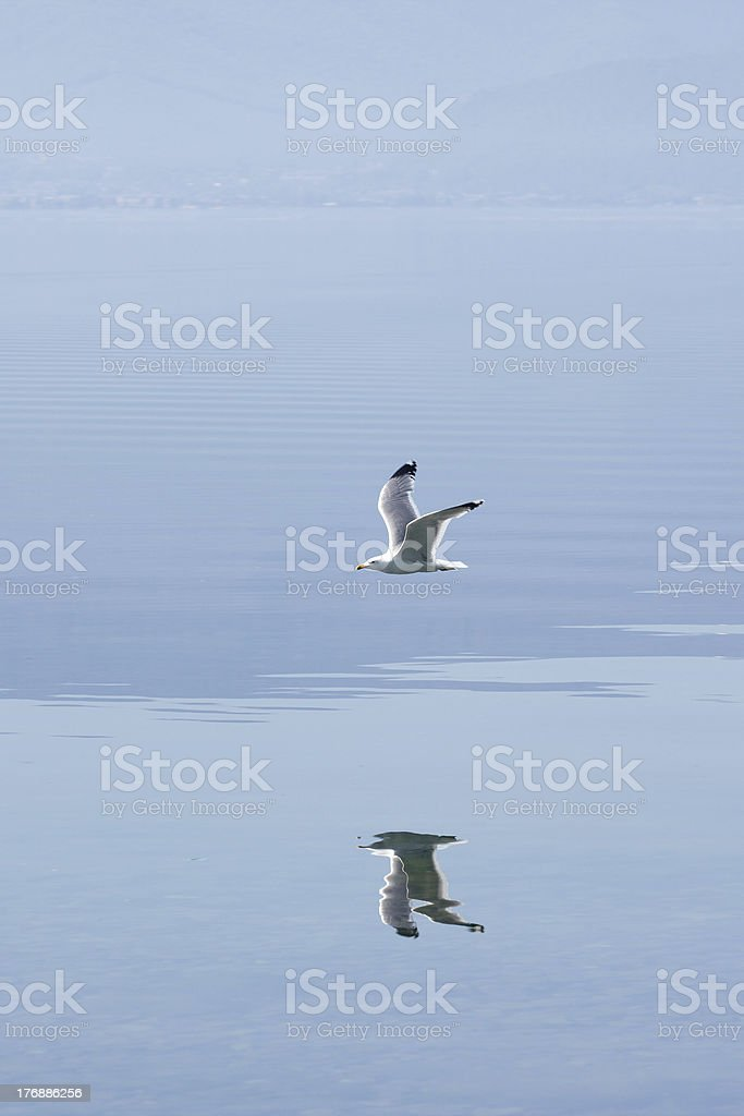 hunting seagull stock photo