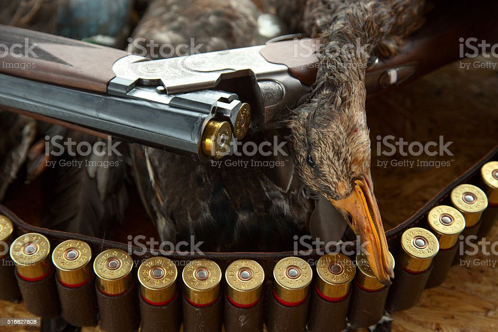 Hunting shotgun shells and a duck stock photo