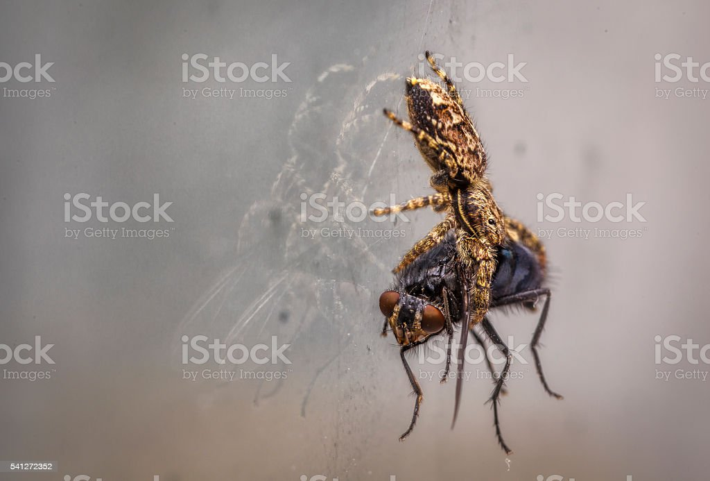 Hunting spider caught a fly stock photo