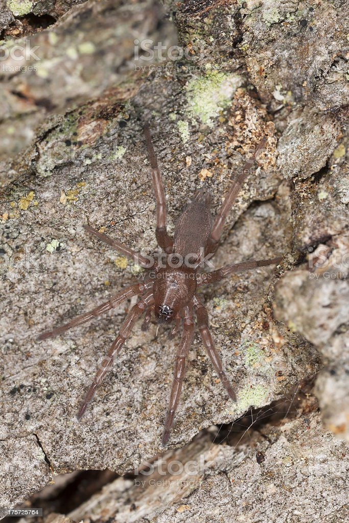 Hunting spider on wood, macro photo royalty-free stock photo