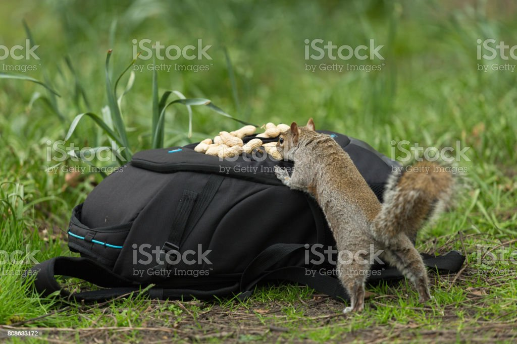 A hunting squirrel. stock photo