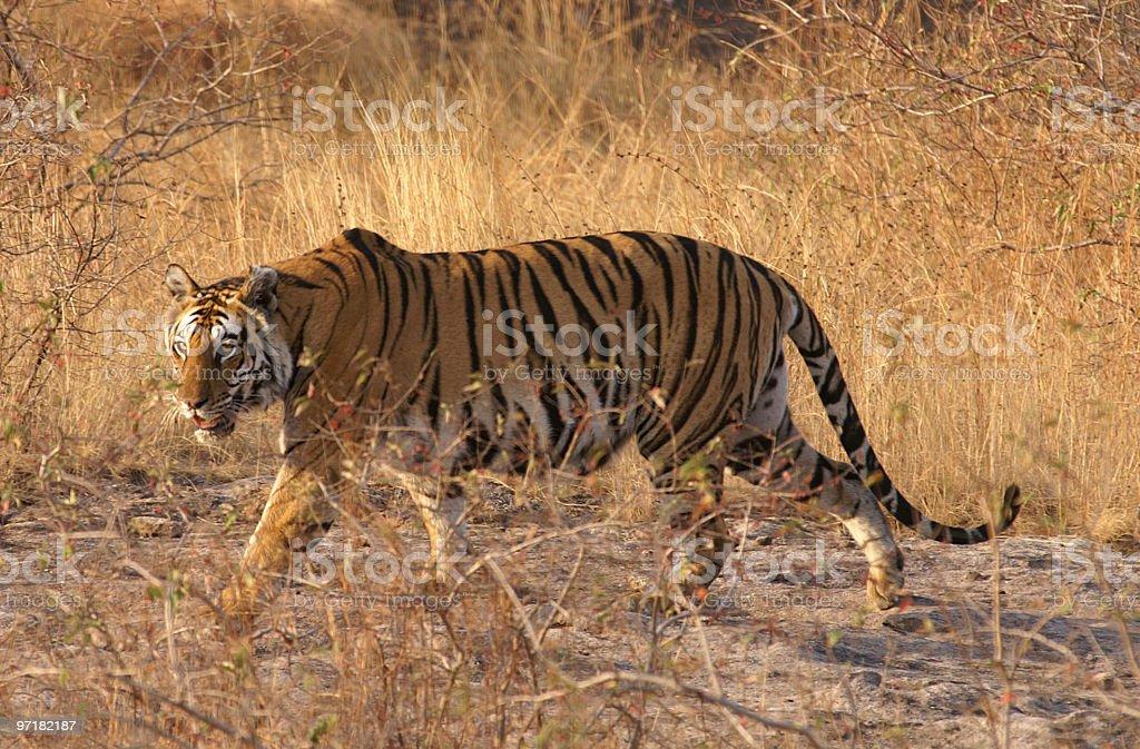 Hunting tiger royalty-free stock photo
