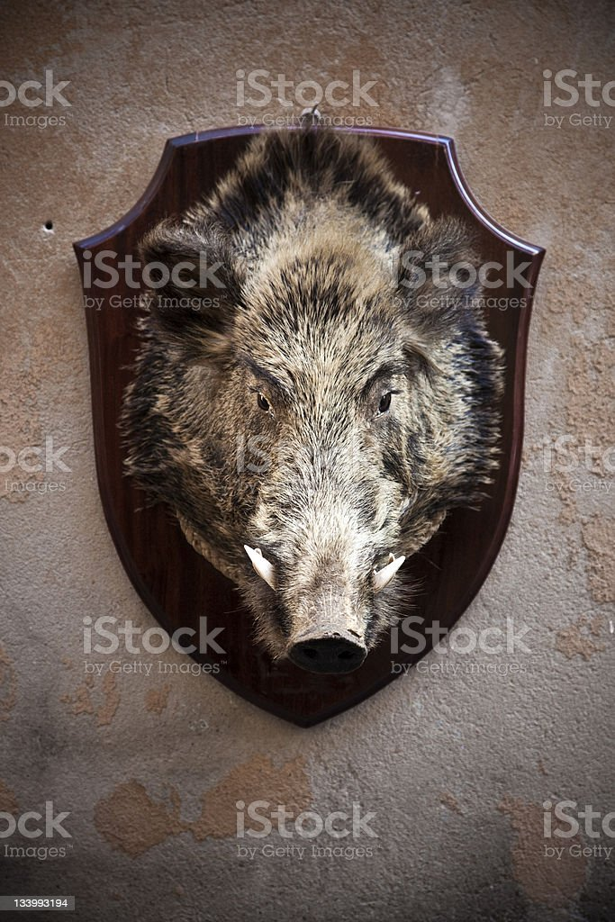 Hunting Trophy Wild Boar Head stock photo
