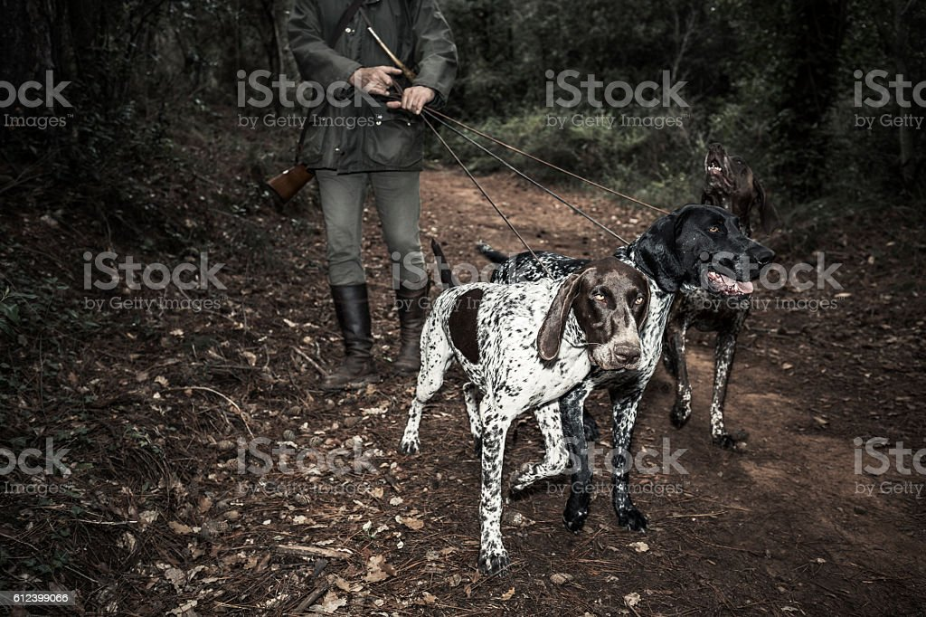Hunting with German Shorthaired Pointers stock photo