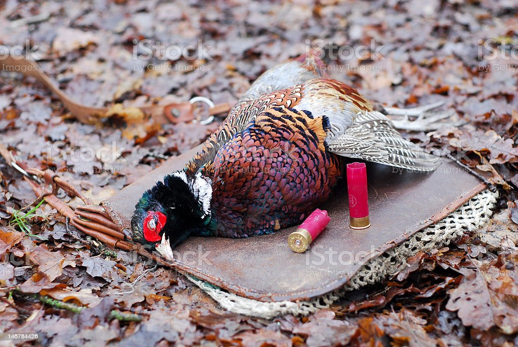 Hunting's result : Male ring-necked pheasant royalty-free stock photo