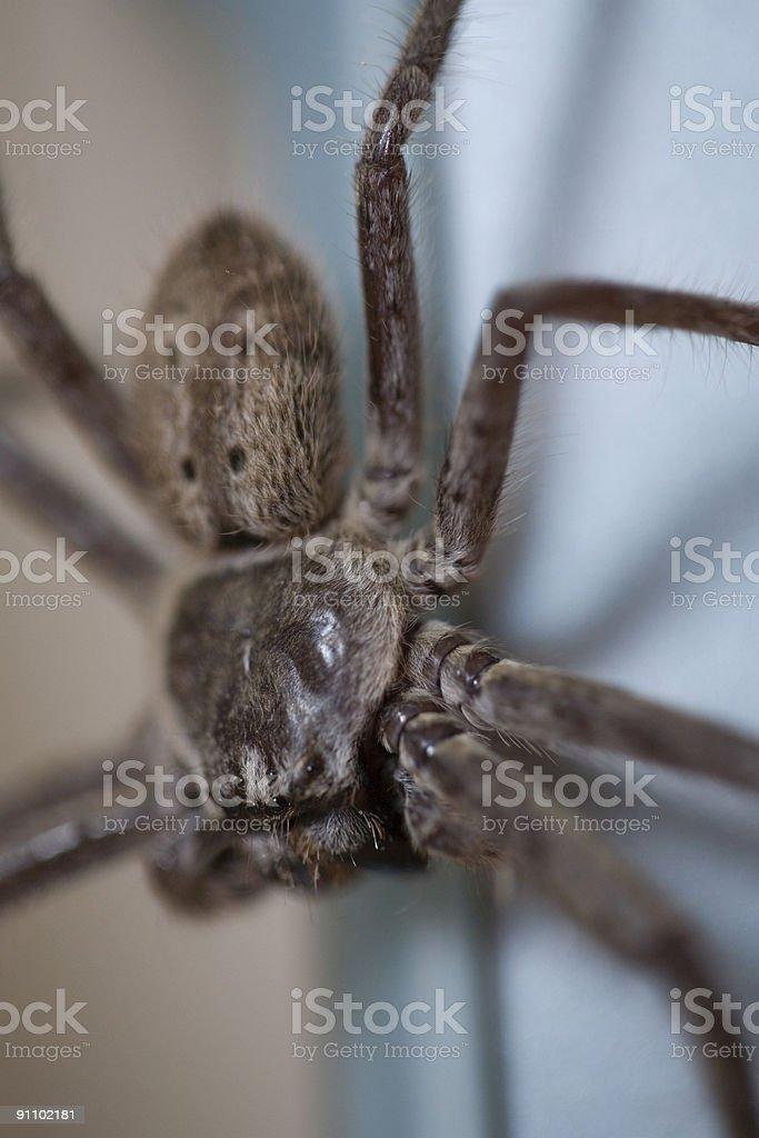 Huntsman Spider stock photo