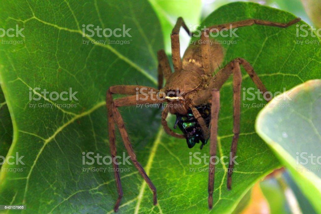 Huntsman spider use venom to immobilise  beetle prey stock photo