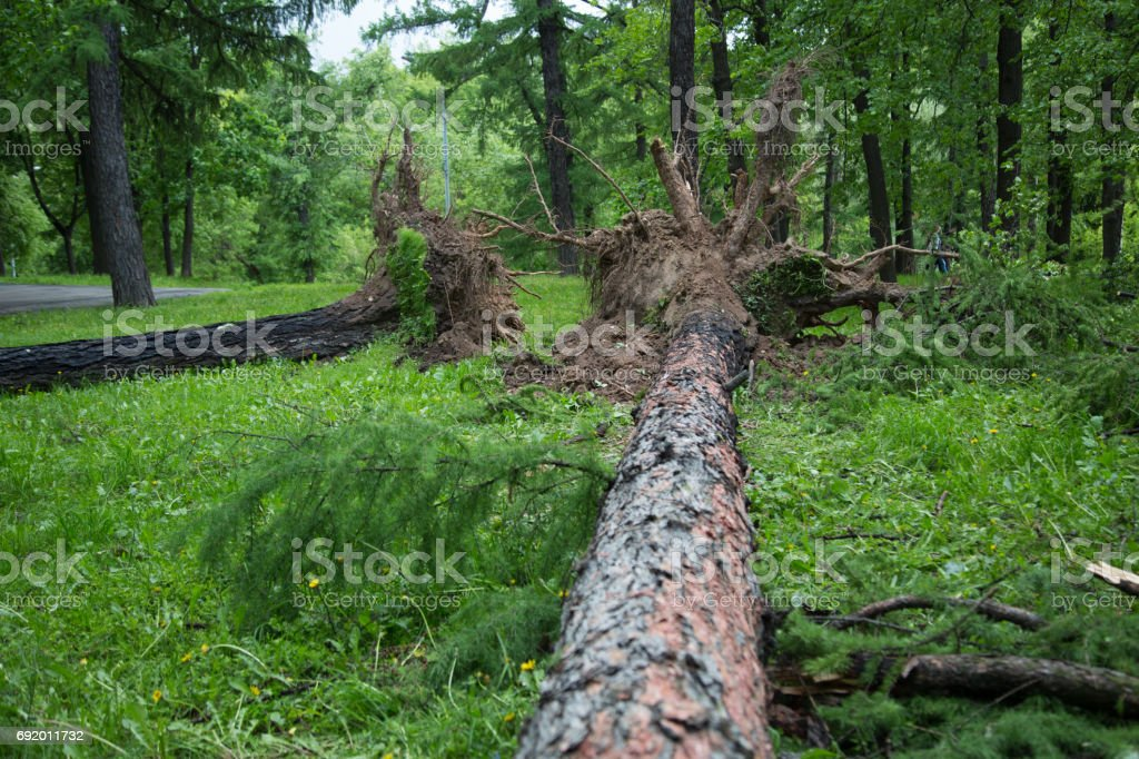Hurricane in Moscow - turned out the century-old tree stock photo